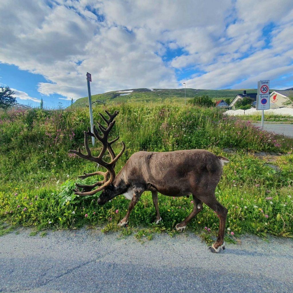Norwegia-renifer-1024x1024